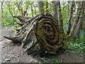 SK3181 : Gnarled stump in Ecclesall Woods : Week 18