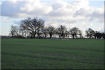 TL4258 : Line of trees by N Chadwick