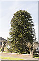 SK9569 : Monkey Puzzle Tree, Western Avenue, Lincoln by Julian P Guffogg