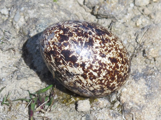 Curlew's egg by the Long Drag