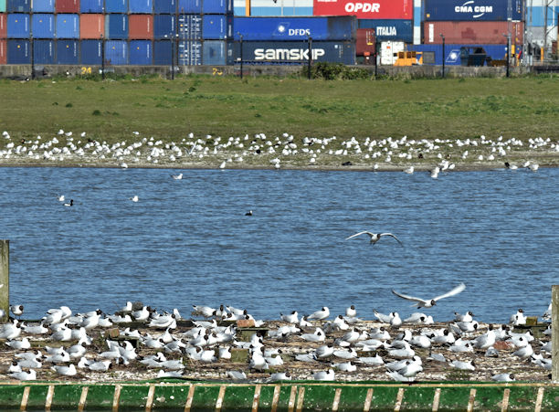 Nesting gulls, Belfast harbour (May 2017)