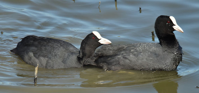 Coots, Belfast harbour (May 2017)