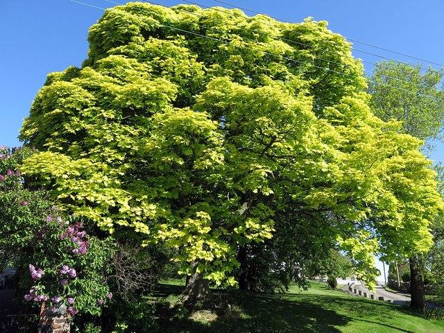 Jubilee Tree, Heddon on the Wall