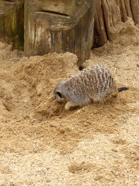 Burrowing Meerkat
