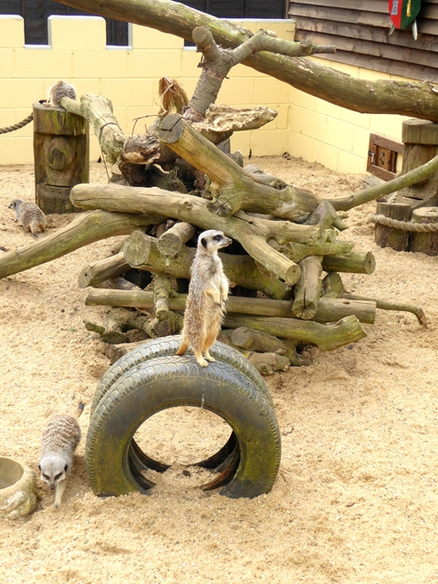 Meerkats galore