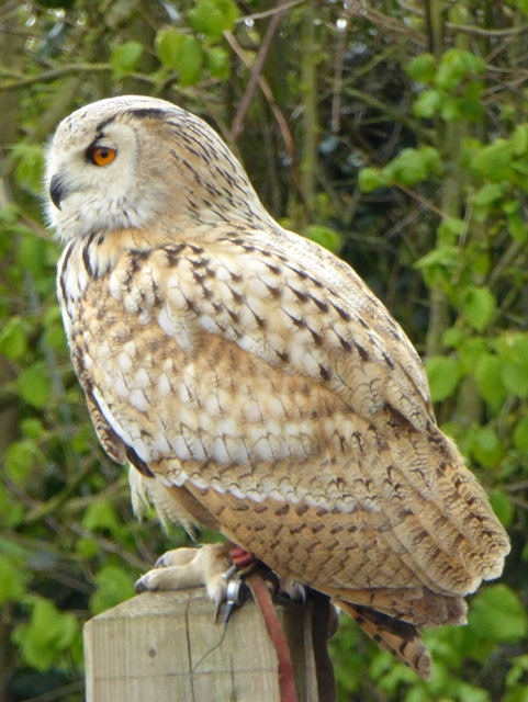 Siberian Eagle Owl at the Suffolk Owl Sanctuary