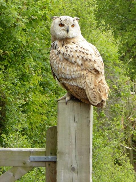 Siberian Eagle Owl at the Suffolk Owl Sanctuary