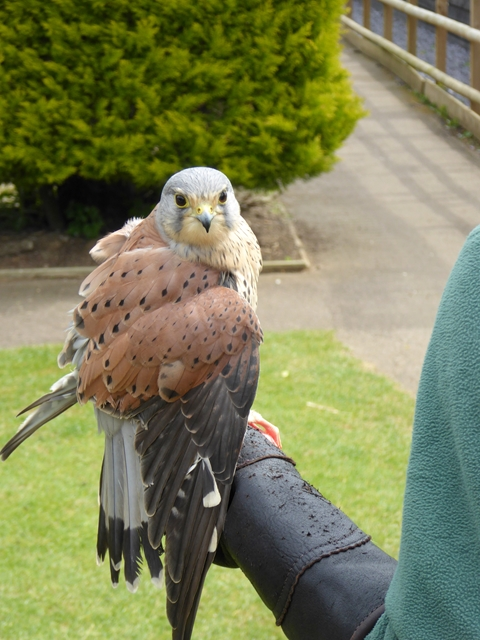 Kestrel at the Suffolk Owl Sanctuary