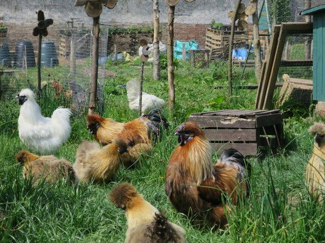 Silkie chicken, Ashburnham Place
