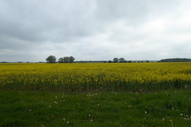 Rape fields west of Sand Farm