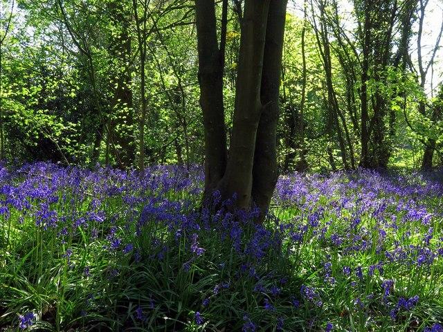 Bluebell Wood near Wylam