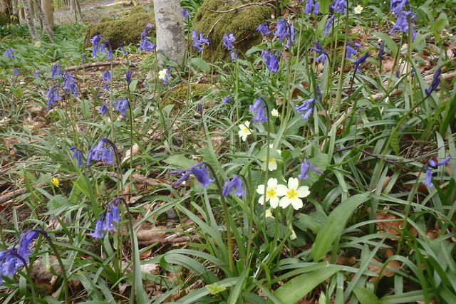 Bluebells and Primroses