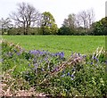 TG3203 : Bluebells on a field boundary by Evelyn Simak