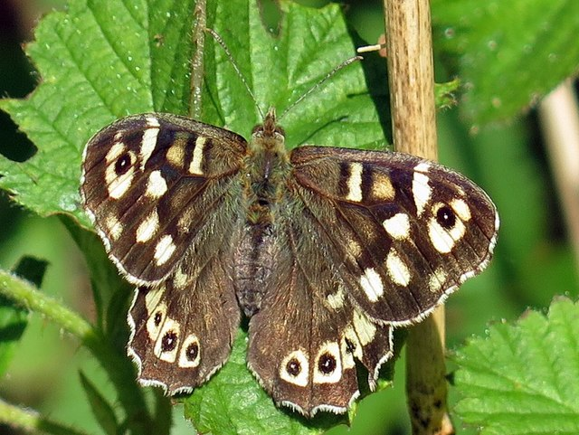 Speckled Wood near Clayton's Wood