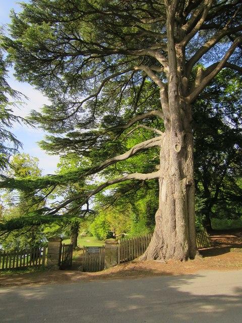 Tree at Ashburnham Place