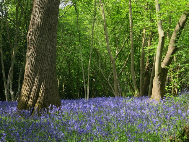 Bluebells near Shrieks Gill