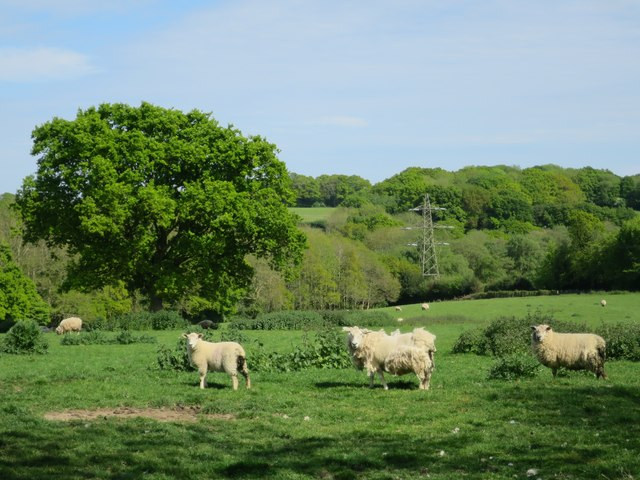 Sheep near Stonelands Farm