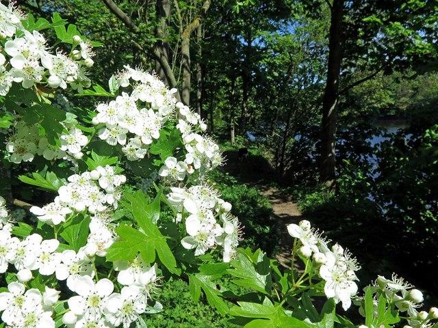 May blossom, Tyne riverside