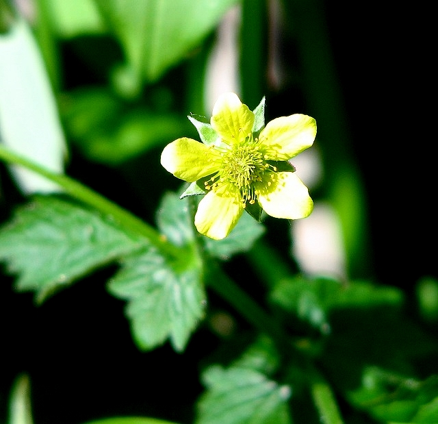Wood Avens  (Geum urbanum) - flower
