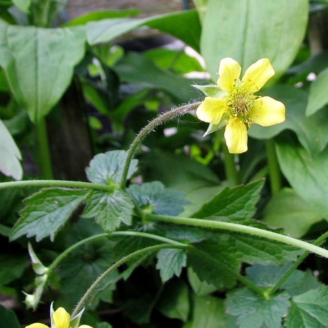 Wood Avens  (Geum urbanum) - flower
