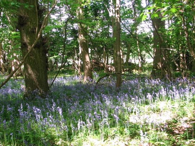 Bluebells in Bush Close