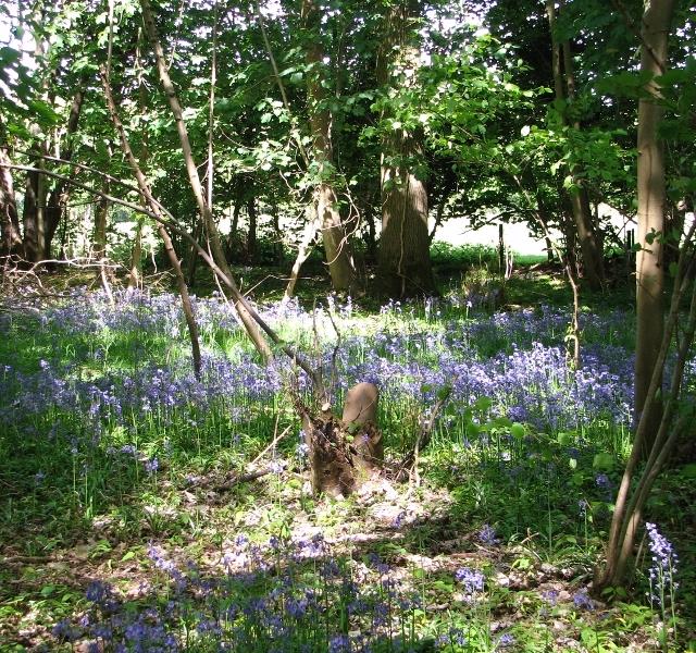 Bluebells beside the path through Bush Close