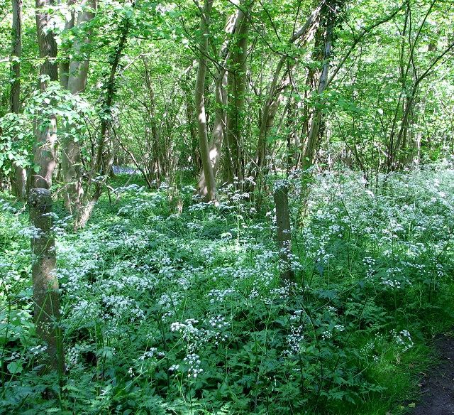 Cow parsley beside the path through Bush Close