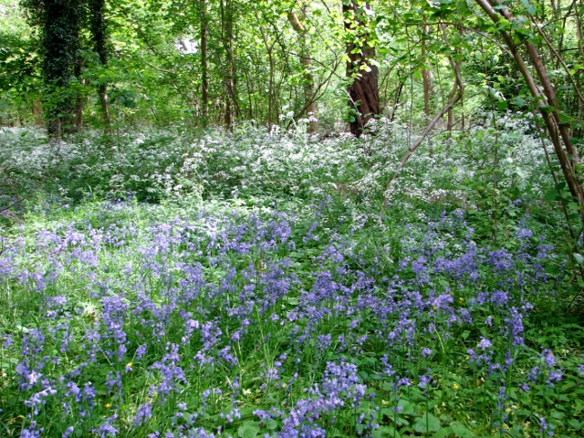 Bluebells and cow parsley in Bush Close