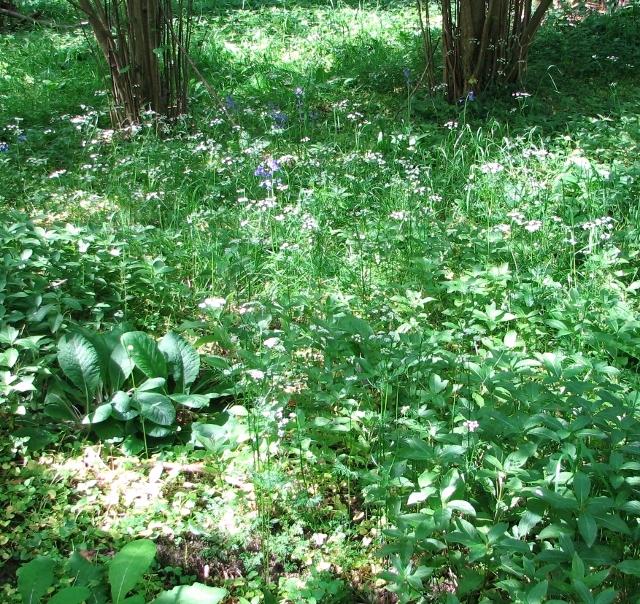 Pignut  (Conopodium majus)