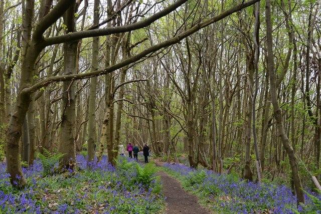 Riverhill Himalayan Garden: Chestnut Wood Bluebell Trail 11