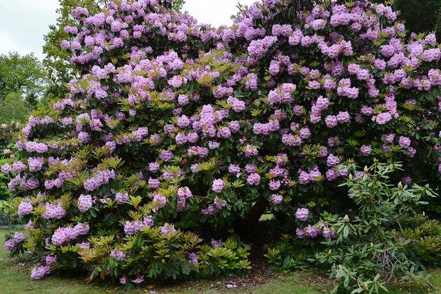 Riverhill Himalayan Garden: Rhododendron 1