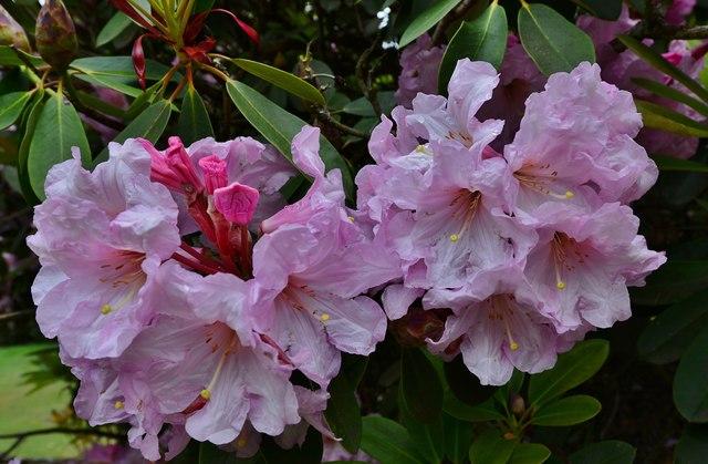 Riverhill Himalayan Garden: Rhododendron 2