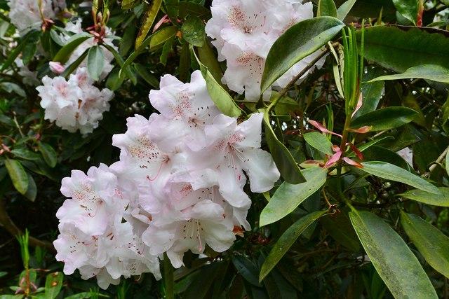 Riverhill Himalayan Garden: Rhododendron 5
