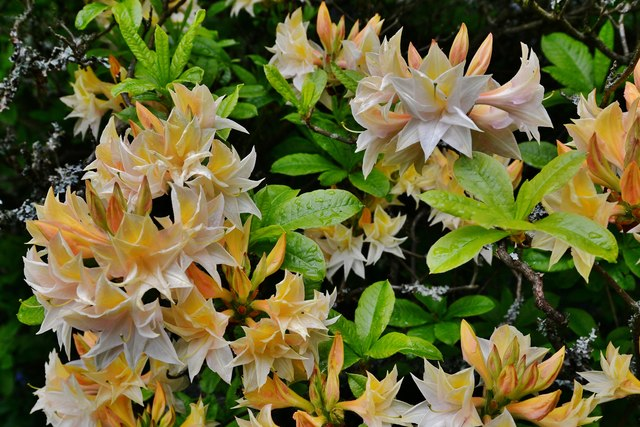 Riverhill Himalayan Garden: Rhododendron 6