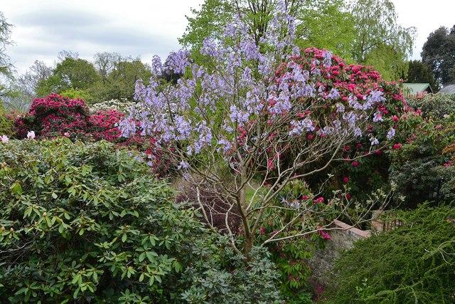 "Riverhill Himalayan Garden: Paulownia tomentosa, the ""foxglove tree"""
