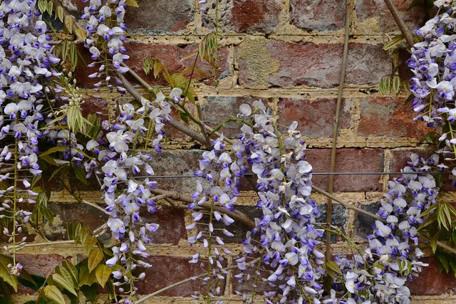 Riverhill Himalayan Garden: Wisteria beginning to cover a wall
