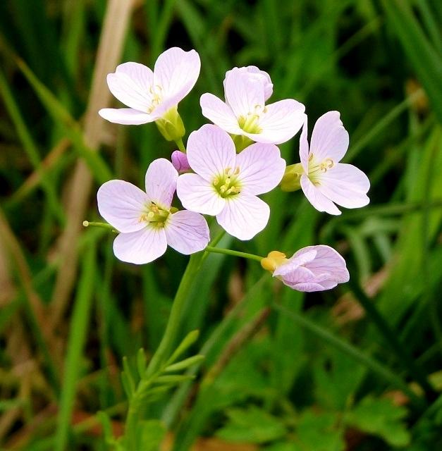 Lady's smock (Cardamine pratensis) - flower