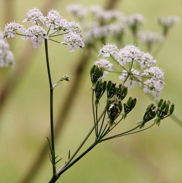 Cow parsley (Anthriscus sylvestris) - flowers and seeds