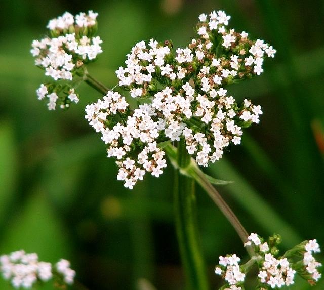 Marsh Valerian  (Valeriana dioica) - flower