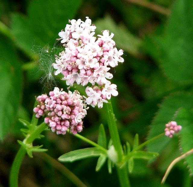 Marsh Valerian  (Valeriana dioica) - flowers