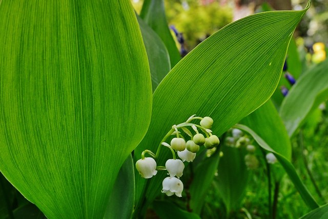 High Beeches Garden: A large patch of Lily of the Valley