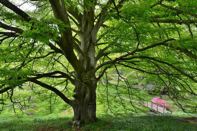 "High Beeches Garden: Fagus sylvetica Aspleniifolia: ""Cut leaved beech"" 2"