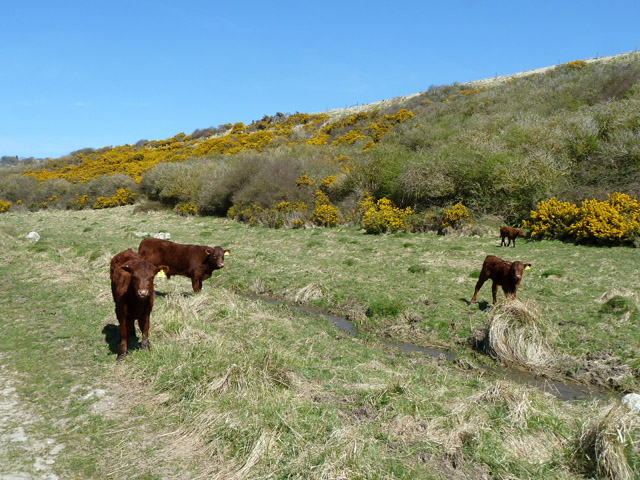 Cattle by stream, Seacombe Bottom