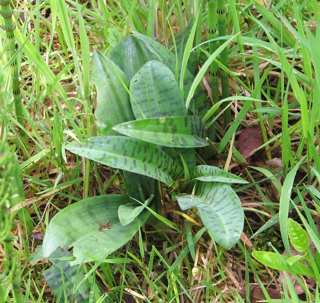 Common Spotted Orchid  (Dactylorhiza fuchsii) - strap leaves