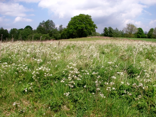 Cow parsley at the Community Reserve