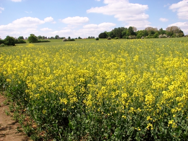 Oilseed rape crop field south of Rockland St Mary
