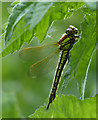 TL3369 : Hairy Dragonfly, Fen Drayton Lakes by Hugh Venables