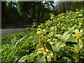 NS4274 : Yellow Archangel by Lairich Rig