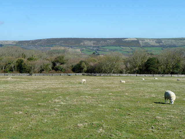 Grazing sheep near Langton Matravers