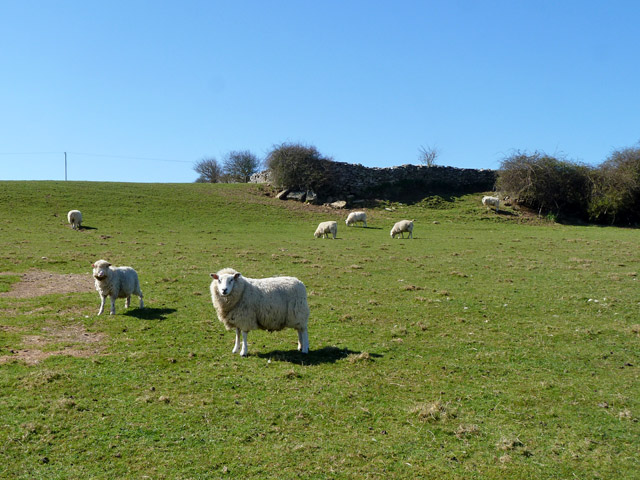 Sheep near Langton Matravers